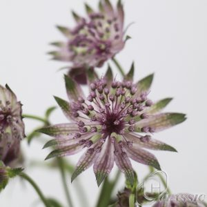 astrantia_star_of_africa_7793