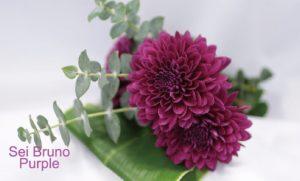 sei bruno purple