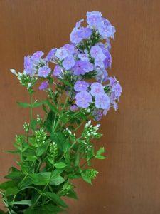 フロックス紫